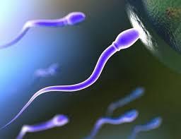 Срок жизни яйцеклетки после овуляции
