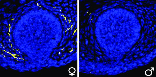 Тестостерон управляет ростом нервов в молочной железе