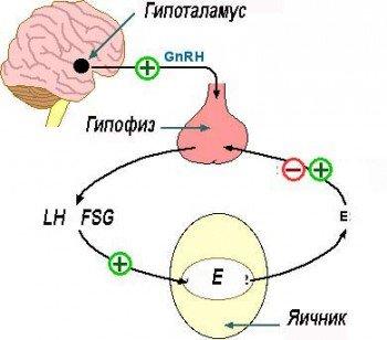 ФСГ-гормон от гипофиза к яичнику