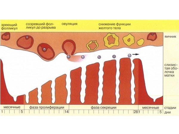 Нарушения менструального цикла после употребления пива