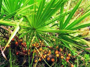 Пальма ползучая