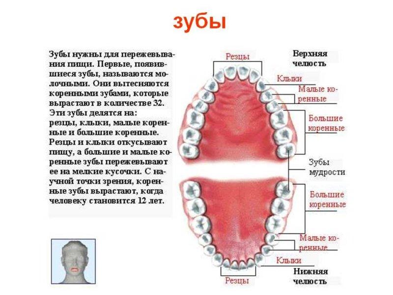 Характеристика зубов человека