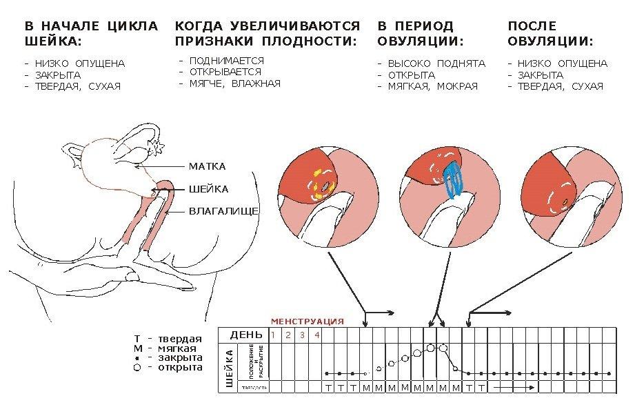 Изменения шейки матки во время овуляции