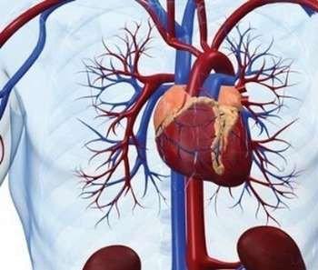 Картинка сердечно-сосудистой системы
