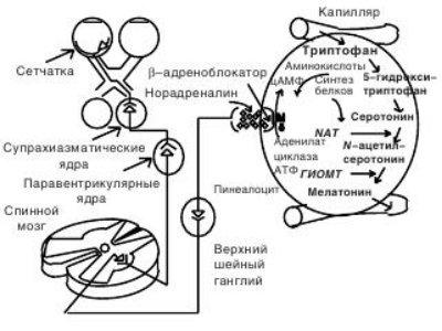 Действие Мелаксена. Мелатонина