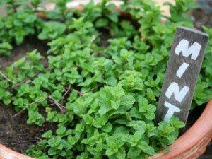 Выращивание перечной мяты в горшочке