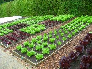 Возможность самостоятельного выращивания кунжута