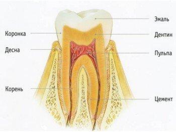 Строение зуба у человека