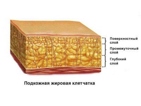 Подкожная <a href='https://med-tutorial.ru/med-books/book/37/page/1-chast-i-obschaya-chast/25-podkozhno-8209-zhirovaya-kletchatka' target='_self'>жировая клетчатка</a>