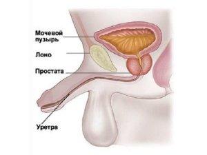 Устройство мужской мочеполовой системы